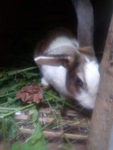 Rabbits in Kenya