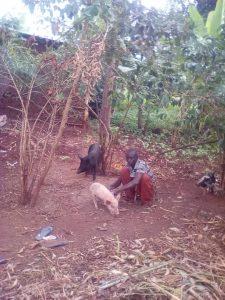 Pig breeding in Bugobero
